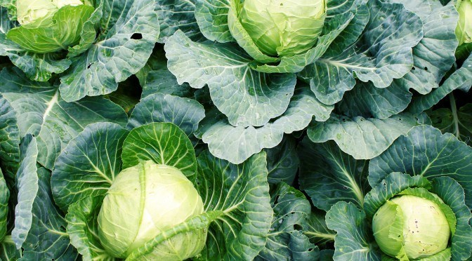 Cabbage: Natural Medicine for Cancer, Diabetes and More