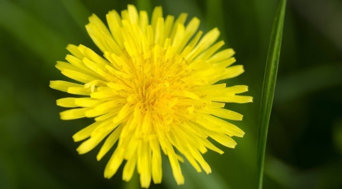 Improve Overall Health, including Liver Function and Skin Problems, with Dandelion