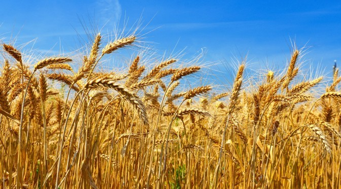 Wheat – The Good, The Bad, and The Ugly