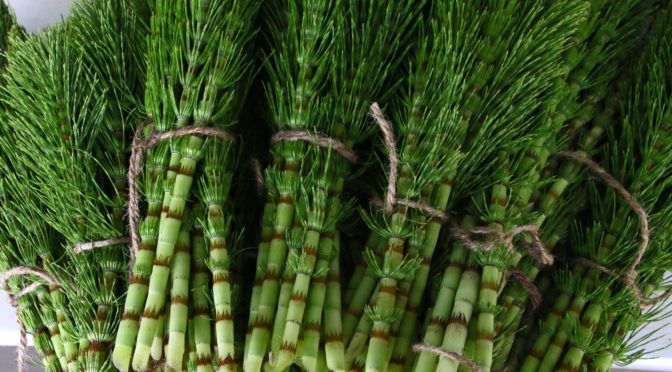 Horsetail herb prevents Alzheimer's and dementia by removing toxic ALUMINUM from your body